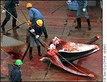 A Minke whale being dissected onboard a Japanese vessel, the killing could increase if demand for meat increases.